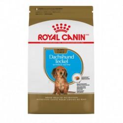 Dachshund Puppy / Teckel Chiot 2.5 lbs 1.1 kg
