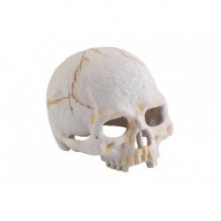 Crâne de primate Exo Terra, petit