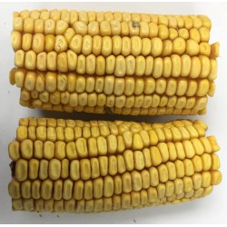 DRIED CORN 2 MINI COBS box **x10**